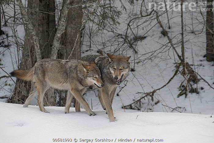 Wolf (Canis lupus) pair nuzzling in snow, Tver, Russia  ,  Adult, Bonding, Canis lupus, Color Image, Day, Full Length, Horizontal, Nobody, Nuzzling, Outdoors, Photography, Russia, Side View, Snow, Touching, Tver, Two Animals, Wildlife, Winter, Wolf,Wolf,Russia  ,  Sergey Gorshkov