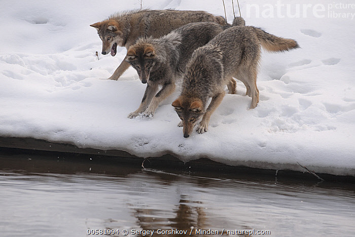 Wolf (Canis lupus) pack in snow along river, Tver, Russia  ,  Adult, Canis lupus, Color Image, Day, Full Length, Horizontal, Nobody, Outdoors, Pack, Photography, River, Riverbank, Russia, Side View, Snow, Three Animals, Tver, Wildlife, Winter, Wolf,Wolf,Russia  ,  Sergey Gorshkov