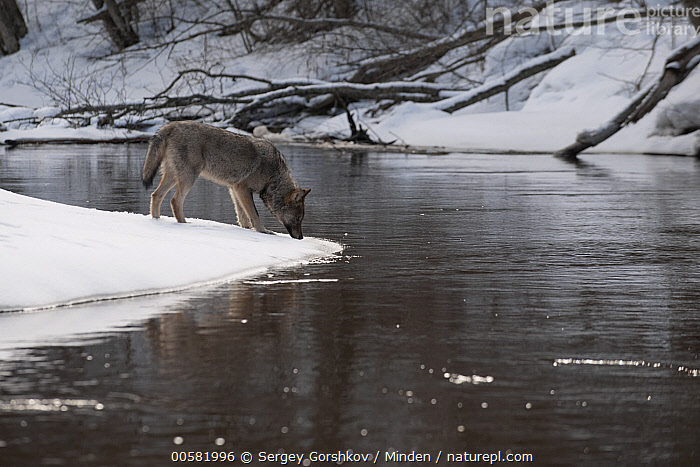 Wolf (Canis lupus) smelling on snow on riverbank, Tver, Russia  ,  Adult, Animal in Habitat, Canis lupus, Color Image, Day, Full Length, Horizontal, Nobody, One Animal, Outdoors, Photography, River, Riverbank, Russia, Side View, Smelling, Snow, Tver, Wildlife, Winter, Wolf,Wolf,Russia  ,  Sergey Gorshkov