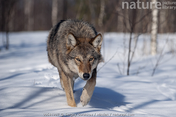Wolf (Canis lupus) running through snow, Tver, Russia  ,  Adult, Approaching, Canis lupus, Color Image, Day, Front View, Full Length, Horizontal, Looking at Camera, Nobody, One Animal, Outdoors, Photography, Running, Russia, Snow, Tver, Wildlife, Winter, Wolf,Wolf,Russia  ,  Sergey Gorshkov