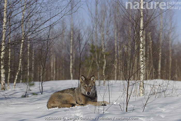 Wolf (Canis lupus) in snow in forest, Tver, Russia  ,  Adult, Animal in Habitat, Canis lupus, Color Image, Day, Forest, Full Length, Horizontal, Looking at Camera, Nobody, One Animal, Outdoors, Photography, Russia, Side View, Snow, Tver, Wildlife, Winter, Wolf,Wolf,Russia  ,  Sergey Gorshkov