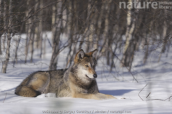 Wolf (Canis lupus) in snow, Tver, Russia, Adult, Canis lupus, Color Image, Day, Full Length, Horizontal, Nobody, One Animal, Outdoors, Photography, Russia, Side View, Snow, Tver, Wildlife, Winter, Wolf,Wolf,Russia, Sergey Gorshkov