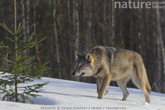 Wolf (Canis lupus) stalking in snow, Tver, Russia, Adult, Canis lupus, Color Image, Day, Full Length, Horizontal, Nobody, One Animal, Outdoors, Photography, Russia, Side View, Snow, Stalking, Tver, Wildlife, Winter, Wolf,Wolf,Russia, Sergey Gorshkov