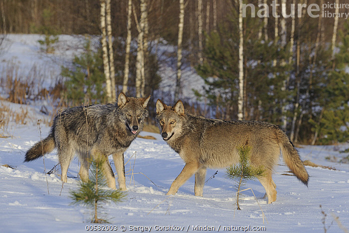 Wolf (Canis lupus) pair in snow, Tver, Russia  ,  Adult, Canis lupus, Color Image, Day, Full Length, Horizontal, Looking at Camera, Nobody, Outdoors, Photography, Russia, Side View, Snow, Tver, Two Animals, Wildlife, Winter, Wolf,Wolf,Russia  ,  Sergey Gorshkov