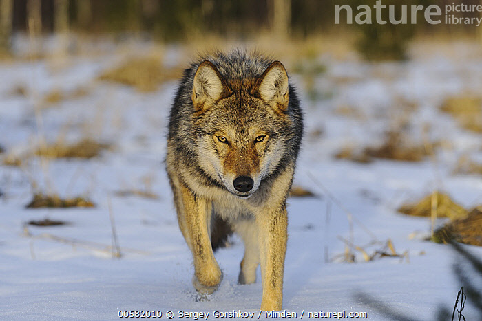 Wolf (Canis lupus) in snow, Tver, Russia  ,  Adult, Approaching, Canis lupus, Color Image, Day, Front View, Full Length, Horizontal, Looking at Camera, Nobody, One Animal, Outdoors, Photography, Russia, Snow, Tver, Wildlife, Winter, Wolf,Wolf,Russia  ,  Sergey Gorshkov