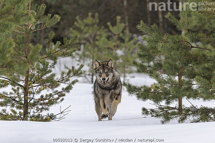 Wolf (Canis lupus) running in snow, Tver, Russia  ,  Adult, Approaching, Canis lupus, Color Image, Day, Front View, Full Length, Horizontal, Looking at Camera, Nobody, One Animal, Outdoors, Photography, Running, Russia, Snow, Tver, Wildlife, Winter, Wolf,Wolf,Russia  ,  Sergey Gorshkov