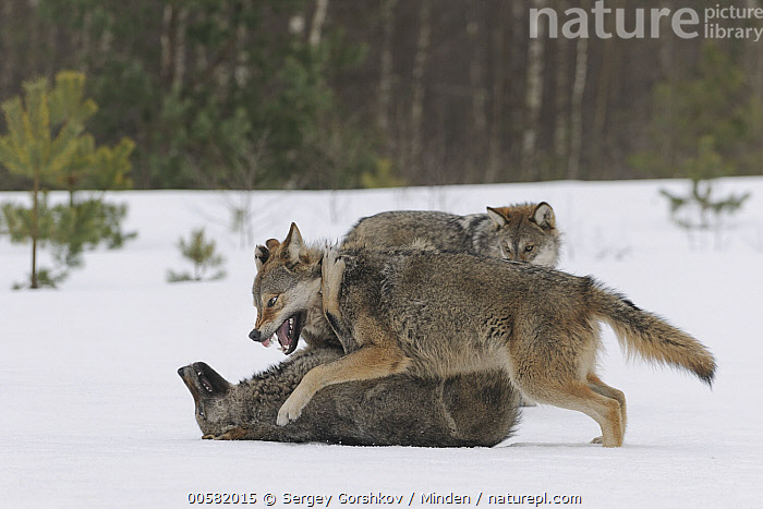 Wolf (Canis lupus) in dominance display in snow, Tver, Russia, sequence 2 of 3, Adult, Aggression, Canis lupus, Color Image, Day, Displaying, Dominance, Full Length, Horizontal, Nobody, Outdoors, Photography, Russia, Sequence, Side View, Snow, Submission, Three Animals, Tver, Wildlife, Winter, Wolf,Wolf,Russia, Sergey Gorshkov