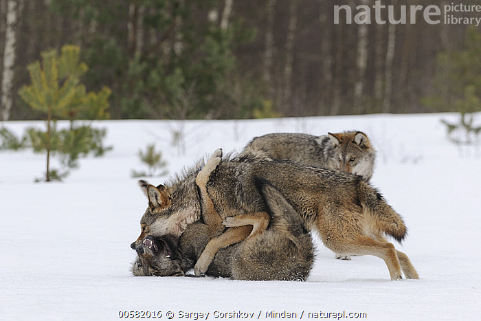 Wolf (Canis lupus) in dominance display in snow, Tver, Russia, sequence 3 of 3, Adult, Aggression, Canis lupus, Color Image, Day, Displaying, Dominance, Full Length, Horizontal, Nobody, Outdoors, Photography, Russia, Sequence, Side View, Snow, Submission, Three Animals, Tver, Wildlife, Winter, Wolf,Wolf,Russia, Sergey Gorshkov