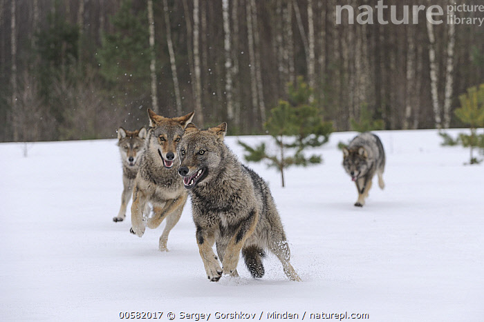 Wolf (Canis lupus) pack running through snow, Tver, Russia  ,  Adult, Canis lupus, Color Image, Day, Four Animals, Front View, Full Length, Horizontal, Nobody, Outdoors, Pack, Photography, Running, Russia, Snow, Tver, Wildlife, Winter, Wolf,Wolf,Russia  ,  Sergey Gorshkov