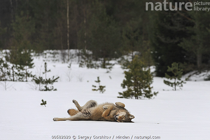 Wolf (Canis lupus) rolling in snow, Tver, Russia, Adult, Canis lupus, Color Image, Day, Full Length, Horizontal, Nobody, One Animal, Outdoors, Photography, Rolling, Rubbing, Russia, Side View, Snow, Tver, Wildlife, Winter, Wolf,Wolf,Russia, Sergey Gorshkov