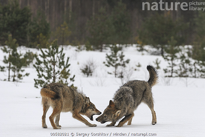 Wolf (Canis lupus) pair playing in snow, Tver, Russia  ,  Adult, Canis lupus, Color Image, Day, Full Length, Horizontal, Nobody, Outdoors, Photography, Playing, Russia, Side View, Snow, Tver, Two Animals, Wildlife, Winter, Wolf,Wolf,Russia  ,  Sergey Gorshkov