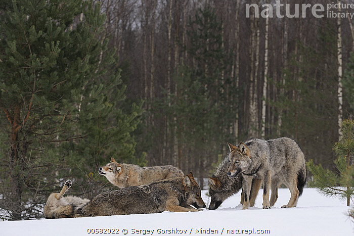 Wolf (Canis lupus) pack in snow, Tver, Russia, Adult, Canis lupus, Color Image, Day, Five Animals, Full Length, Horizontal, Nobody, Outdoors, Pack, Photography, Russia, Side View, Snow, Tver, Wildlife, Winter, Wolf,Wolf,Russia, Sergey Gorshkov