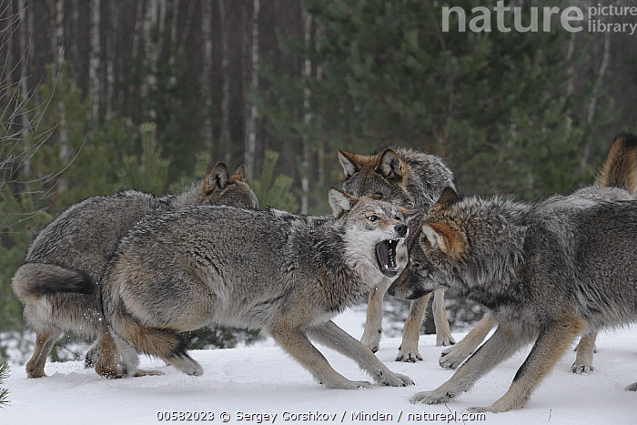 Wolf (Canis lupus) pack in dominance display, Tver, Russia  ,  Adult, Canis lupus, Color Image, Day, Displaying, Dominance, Four Animals, Full Length, Horizontal, Nobody, Open Mouth, Outdoors, Pack, Photography, Russia, Side View, Snow, Submission, Tver, Waist Up, Wildlife, Winter, Wolf,Wolf,Russia  ,  Sergey Gorshkov