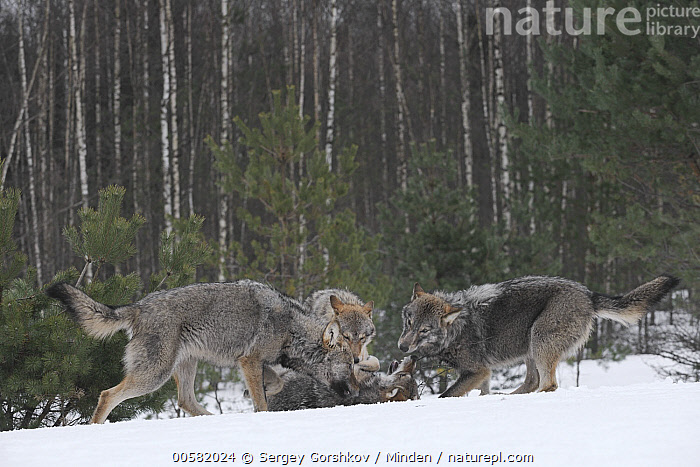 Wolf (Canis lupus) pack playing in snow, Tver, Russia  ,  Adult, Canis lupus, Color Image, Day, Four Animals, Full Length, Horizontal, Nobody, Outdoors, Pack, Photography, Playing, Russia, Side View, Snow, Tver, Wildlife, Winter, Wolf,Wolf,Russia  ,  Sergey Gorshkov