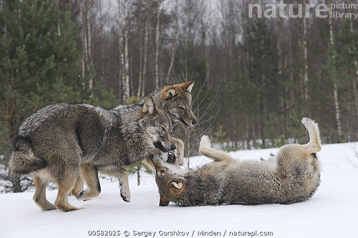 Wolf (Canis lupus) trio playing in snow, Tver, Russia, Adult, Canis lupus, Color Image, Day, Full Length, Horizontal, Nobody, Outdoors, Photography, Playing, Russia, Side View, Snow, Three Animals, Tver, Wildlife, Winter, Wolf,Wolf,Russia, Sergey Gorshkov