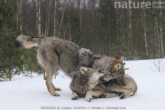 Wolf (Canis lupus) pair playing in snow, Tver, Russia, Adult, Biting, Canis lupus, Color Image, Day, Full Length, Horizontal, Nobody, Outdoors, Photography, Playing, Russia, Side View, Snow, Tver, Two Animals, Wildlife, Winter, Wolf,Wolf,Russia, Sergey Gorshkov