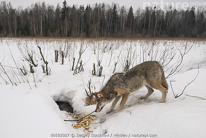 Wolf (Canis lupus) investigating European Beaver (Castor fiber) hole in winter, Tver, Russia, Adult, Canis lupus, Castor fiber, Color Image, Day, European Beaver, Foraging, Full Length, Hole, Horizontal, Hunting, Investigating, Nobody, One Animal, Outdoors, Photography, Russia, Side View, Smelling, Snow, Tver, Wildlife, Winter, Wolf,Wolf,European Beaver,Castor fiber,Russia, Sergey Gorshkov