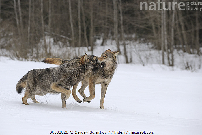 Wolf (Canis lupus) pair playing in snow, Tver, Russia  ,  Adult, Biting, Canis lupus, Color Image, Day, Full Length, Horizontal, Nobody, Outdoors, Photography, Playing, Russia, Side View, Snow, Tver, Two Animals, Wildlife, Winter, Wolf,Wolf,Russia  ,  Sergey Gorshkov
