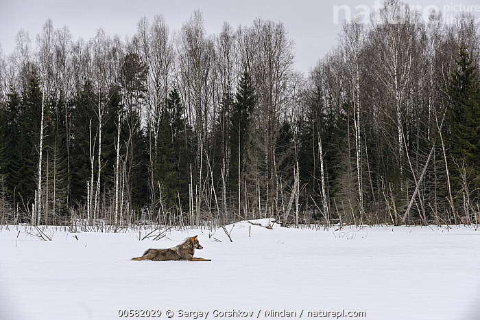 Wolf (Canis lupus) in snow near forest, Tver, Russia, Adult, Animal in Habitat, Boreal Forest, Canis lupus, Color Image, Day, Forest, Full Length, Horizontal, Nobody, One Animal, Outdoors, Photography, Russia, Side View, Snow, Tver, Wildlife, Winter, Wolf,Wolf,Russia, Sergey Gorshkov