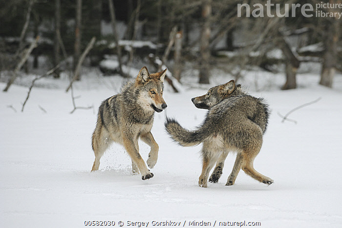 Wolf (Canis lupus) pair playing in snow, Tver, Russia  ,  Adult, Canis lupus, Color Image, Day, Front View, Full Length, Horizontal, Nobody, Outdoors, Photography, Playing, Rear View, Russia, Snow, Tver, Two Animals, Wildlife, Winter, Wolf,Wolf,Russia  ,  Sergey Gorshkov