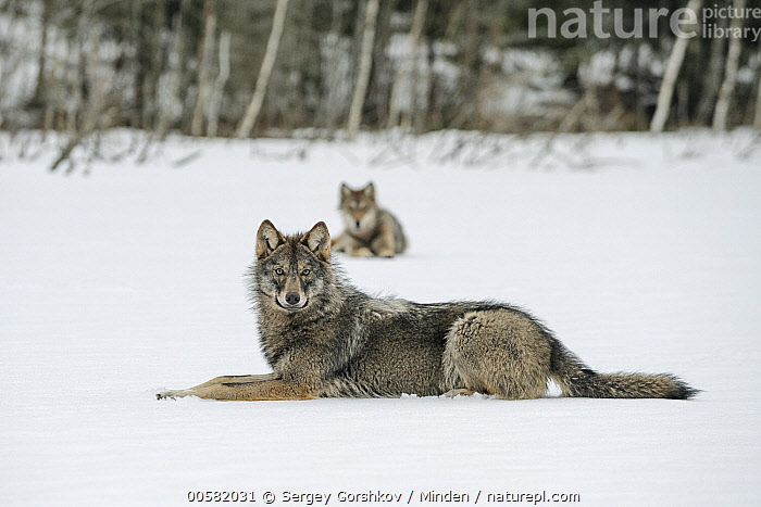 Wolf (Canis lupus) pair in snow, Tver, Russia  ,  Adult, Canis lupus, Color Image, Day, Front View, Full Length, Horizontal, Looking at Camera, Nobody, Outdoors, Photography, Russia, Side View, Snow, Tver, Two Animals, Wildlife, Winter, Wolf,Wolf,Russia  ,  Sergey Gorshkov