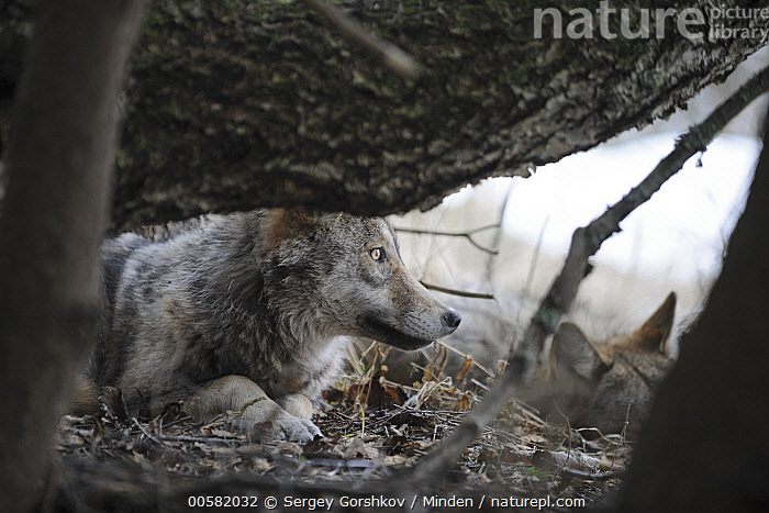 Wolf (Canis lupus) pair, Tver, Russia  ,  Adult, Canis lupus, Color Image, Day, Horizontal, Nobody, Outdoors, Photography, Russia, Side View, Tver, Two Animals, Waist Up, Wildlife, Winter, Wolf,Wolf,Russia  ,  Sergey Gorshkov