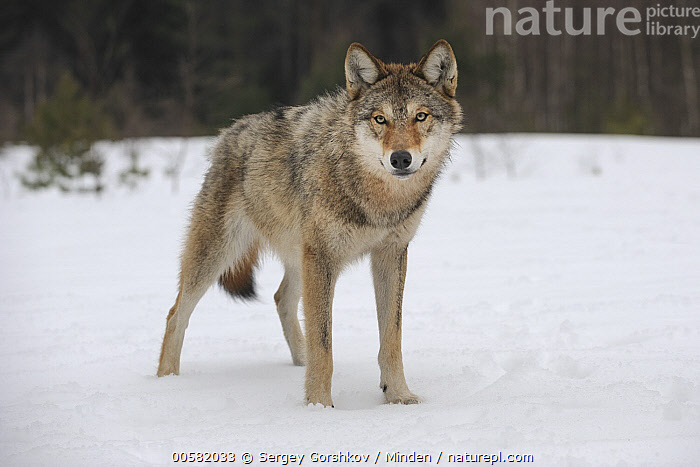 Wolf (Canis lupus) in snow, Tver, Russia, Adult, Canis lupus, Color Image, Curiosity, Curious, Day, Front View, Full Length, Horizontal, Looking at Camera, Nobody, One Animal, Outdoors, Photography, Russia, Snow, Tver, Wildlife, Winter, Wolf,Wolf,Russia, Sergey Gorshkov