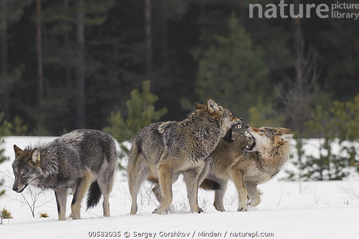 Wolf (Canis lupus) pair in dominance display in snow, Tver, Russia  ,  Adult, Aggression, Canis lupus, Color Image, Day, Displaying, Dominance, Full Length, Horizontal, Nobody, Open Mouth, Outdoors, Photography, Russia, Side View, Snow, Three Animals, Tver, Wildlife, Winter, Wolf,Wolf,Russia  ,  Sergey Gorshkov
