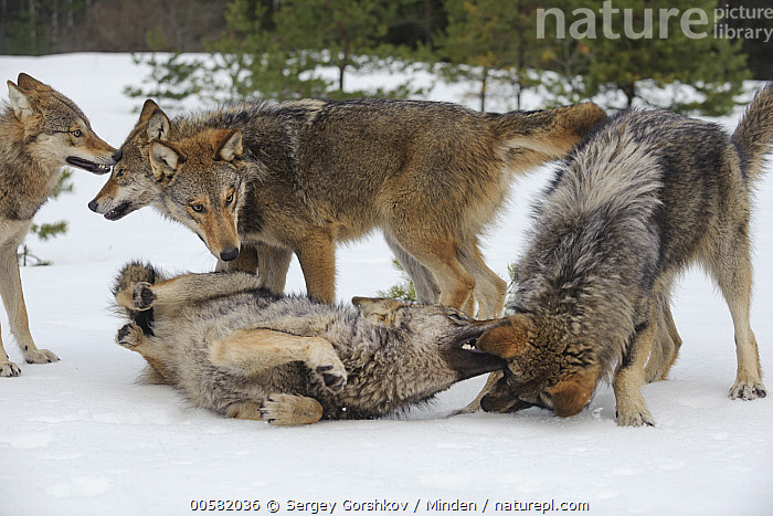 Wolf (Canis lupus) in dominance display within pack, Tver, Russia  ,  Adult, Biting, Canis lupus, Color Image, Day, Displaying, Dominance, Five Animals, Full Length, Horizontal, Nobody, Outdoors, Pack, Photography, Russia, Side View, Snow, Submission, Tver, Wildlife, Winter, Wolf,Wolf,Russia  ,  Sergey Gorshkov