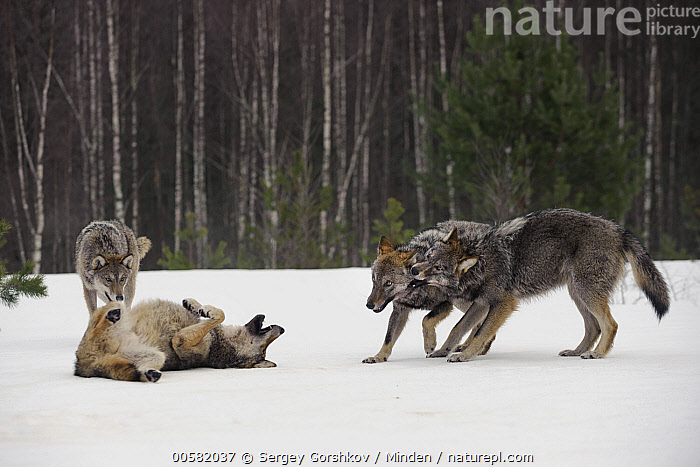 Wolf (Canis lupus) pack playing in snow, Tver, Russia, Adult, Canis lupus, Color Image, Day, Four Animals, Full Length, Horizontal, Nobody, Outdoors, Pack, Photography, Playing, Russia, Side View, Snow, Tver, Wildlife, Winter, Wolf,Wolf,Russia, Sergey Gorshkov