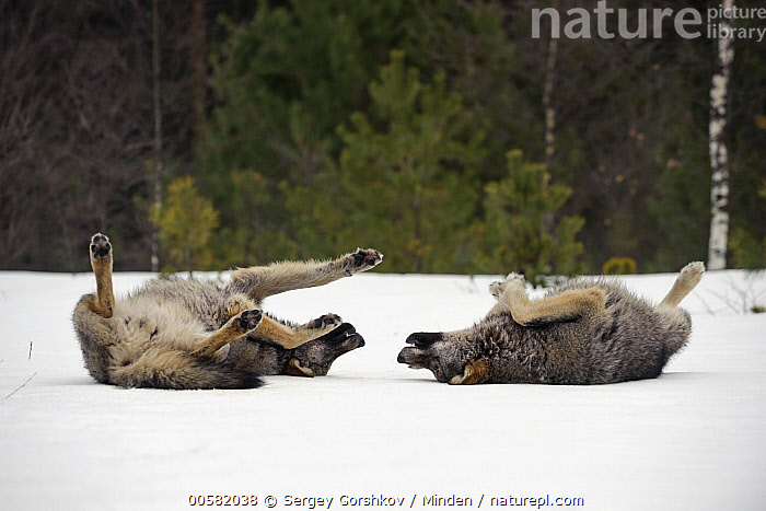 Wolf (Canis lupus) pair rolling in snow, Tver, Russia  ,  Adult, Canis lupus, Color Image, Day, Full Length, Horizontal, Nobody, Outdoors, Photography, Rolling, Russia, Side View, Snow, Tver, Two Animals, Wildlife, Winter, Wolf,Wolf,Russia  ,  Sergey Gorshkov