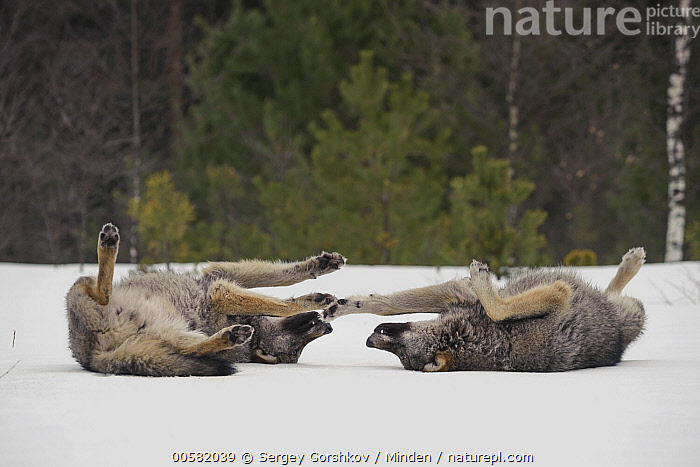 Wolf (Canis lupus) pair rolling in snow, Tver, Russia, Adult, Canis lupus, Color Image, Cute, Day, Full Length, Horizontal, Nobody, Outdoors, Photography, Rolling, Russia, Side View, Snow, Tver, Two Animals, Wildlife, Winter, Wolf,Wolf,Russia, Sergey Gorshkov