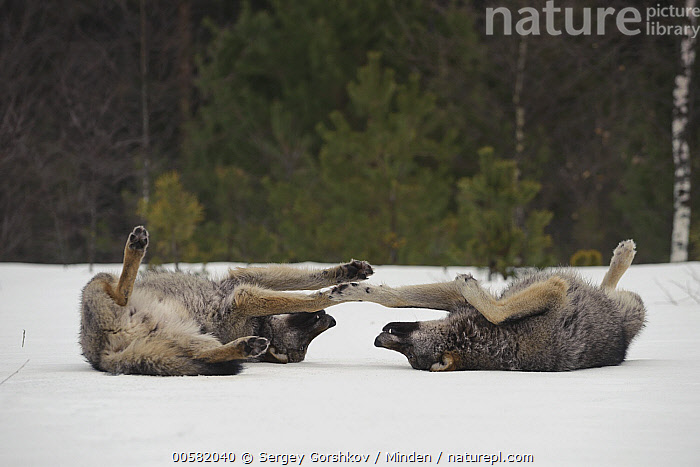 Wolf (Canis lupus) pair rolling in snow, Tver, Russia  ,  Adult, Canis lupus, Color Image, Cute, Day, Full Length, Horizontal, Nobody, Outdoors, Photography, Rolling, Russia, Side View, Snow, Tver, Two Animals, Wildlife, Winter, Wolf,Wolf,Russia  ,  Sergey Gorshkov