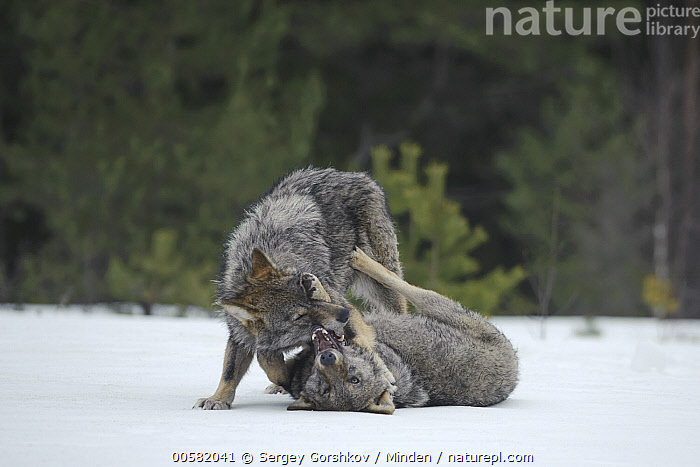 Wolf (Canis lupus) pair playing in snow, Tver, Russia  ,  Adult, Canis lupus, Color Image, Day, Front View, Full Length, Horizontal, Nobody, Outdoors, Photography, Playing, Russia, Side View, Snow, Tver, Two Animals, Wildlife, Winter, Wolf,Wolf,Russia  ,  Sergey Gorshkov