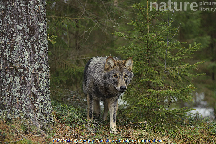 Wolf (Canis lupus) in forest, Tver, Russia  ,  Adult, Animal in Habitat, Canis lupus, Color Image, Day, Forest, Front View, Full Length, Horizontal, Nobody, One Animal, Outdoors, Photography, Russia, Tver, Wildlife, Wolf,Wolf,Russia  ,  Sergey Gorshkov