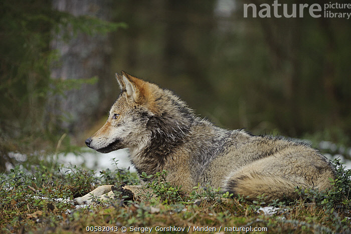 Wolf (Canis lupus), Tver, Russia, Adult, Canis lupus, Color Image, Day, Full Length, Horizontal, Nobody, One Animal, Outdoors, Photography, Russia, Side View, Tver, Wildlife, Wolf,Wolf,Russia, Sergey Gorshkov