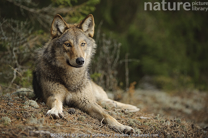 Wolf (Canis lupus), Tver, Russia, Adult, Canis lupus, Color Image, Day, Front View, Full Length, Horizontal, Looking at Camera, Nobody, One Animal, Outdoors, Photography, Russia, Tver, Wildlife, Wolf,Wolf,Russia, Sergey Gorshkov
