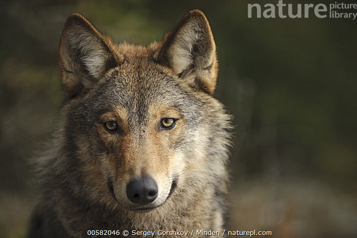 Wolf (Canis lupus), Tver, Russia  ,  Adult, Canis lupus, Close Up, Color Image, Day, Front View, Head and Shoulders, Horizontal, Looking at Camera, Nobody, One Animal, Outdoors, Photography, Portrait, Russia, Tver, Wildlife, Wolf,Wolf,Russia  ,  Sergey Gorshkov