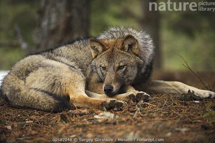 Wolf (Canis lupus), Tver, Russia, Adult, Canis lupus, Color Image, Day, Full Length, Horizontal, Nobody, One Animal, Outdoors, Photography, Resting, Russia, Side View, Tver, Wildlife, Wolf,Wolf,Russia, Sergey Gorshkov