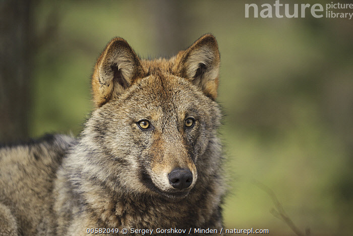 Wolf (Canis lupus), Tver, Russia, Adult, Canis lupus, Close Up, Color Image, Day, Horizontal, Nobody, One Animal, Outdoors, Photography, Russia, Side View, Tver, Waist Up, Wildlife, Wolf,Wolf,Russia, Sergey Gorshkov