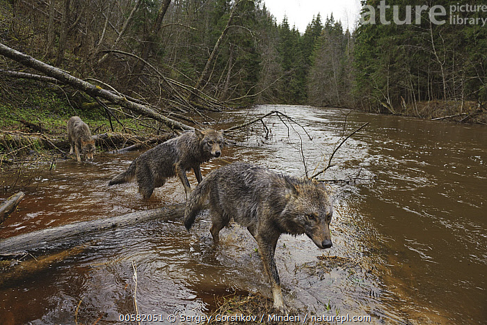 Wolf (Canis lupus) trio crossing river, Tver, Russia  ,  Adult, Animal in Habitat, Canis lupus, Color Image, Crossing, Day, Full Length, Horizontal, Nobody, Outdoors, Photography, River, Russia, Side View, Three Animals, Tver, Wide-angle Lens, Wildlife, Wolf,Wolf,Russia  ,  Sergey Gorshkov