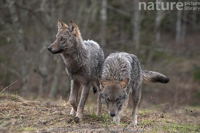 Wolf (Canis lupus) pair, Tver, Russia, Adult, Canis lupus, Color Image, Day, Front View, Full Length, Horizontal, Nobody, Outdoors, Photography, Russia, Tver, Two Animals, Wildlife, Wolf,Wolf,Russia, Sergey Gorshkov