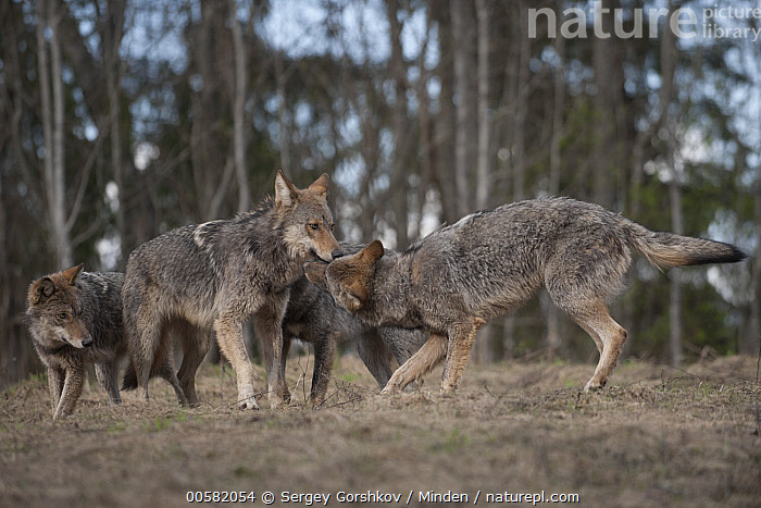 Wolf (Canis lupus) pack greeting each other, Tver, Russia  ,  Adult, Canis lupus, Color Image, Day, Four Animals, Full Length, Greeting, Horizontal, Nobody, Outdoors, Pack, Photography, Russia, Side View, Smelling, Tver, Wildlife, Wolf,Wolf,Russia  ,  Sergey Gorshkov