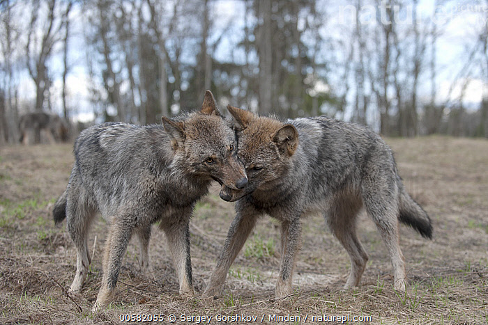 Wolf (Canis lupus) pair nuzzling, Tver, Russia, Adult, Bonding, Canis lupus, Color Image, Day, Full Length, Horizontal, Nobody, Nuzzling, Outdoors, Photography, Russia, Side View, Touching, Tver, Two Animals, Wildlife, Wolf,Wolf,Russia, Sergey Gorshkov