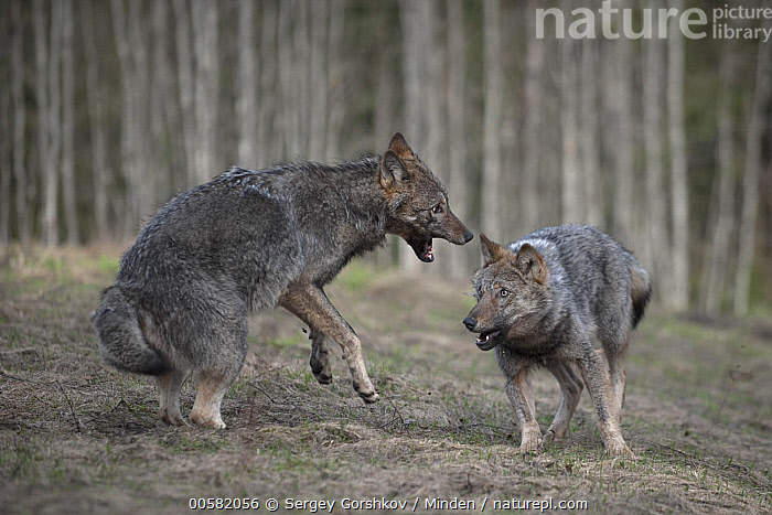 Wolf (Canis lupus) pair playing, Tver, Russia, Adult, Canis lupus, Color Image, Day, Front View, Full Length, Horizontal, Nobody, Outdoors, Photography, Playing, Russia, Side View, Tver, Two Animals, Wildlife, Wolf,Wolf,Russia, Sergey Gorshkov