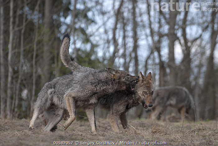 Wolf (Canis lupus) pair playing, Tver, Russia  ,  Adult, Biting, Canis lupus, Color Image, Day, Full Length, Horizontal, Nobody, Outdoors, Photography, Playing, Russia, Side View, Three Animals, Tver, Wildlife, Wolf,Wolf,Russia  ,  Sergey Gorshkov