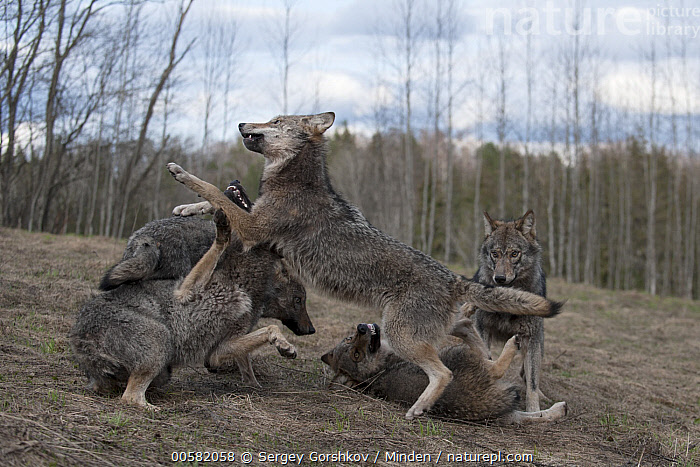 Wolf (Canis lupus) pack playing, Tver, Russia, Adult, Canis lupus, Color Image, Day, Five Animals, Full Length, Horizontal, Nobody, Outdoors, Pack, Photography, Playing, Russia, Side View, Tver, Wildlife, Wolf,Wolf,Russia, Sergey Gorshkov