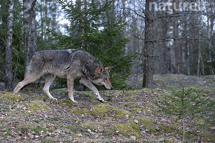 Wolf (Canis lupus) in submissive display, Tver, Russia, Adult, Canis lupus, Color Image, Day, Displaying, Full Length, Horizontal, Nobody, One Animal, Outdoors, Photography, Russia, Side View, Submission, Tver, Wildlife, Wolf,Wolf,Russia, Sergey Gorshkov