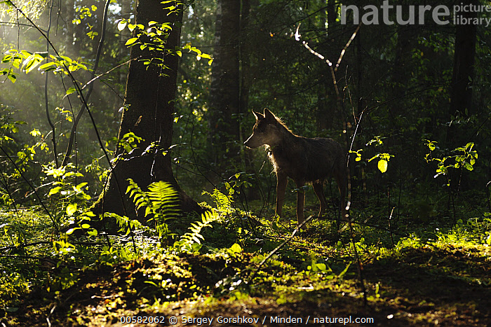 Wolf (Canis lupus) in forest, Tver, Russia, Adult, Animal in Habitat, Backlighting, Canis lupus, Color Image, Day, Forest, Full Length, Horizontal, Moody, Nobody, One Animal, Outdoors, Photography, Russia, Side View, Tver, Wildlife, Wolf,Wolf,Russia, Sergey Gorshkov