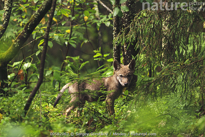 Wolf (Canis lupus) pup in forest, Tver, Russia  ,  Animal in Habitat, Baby, Canis lupus, Color Image, Day, Forest, Full Length, Horizontal, Looking at Camera, Nobody, One Animal, Outdoors, Photography, Pup, Russia, Side View, Tver, Wildlife, Wolf,Wolf,Russia  ,  Sergey Gorshkov